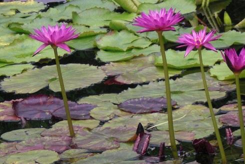 草津2 水の森 蓮の花6
