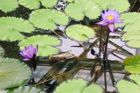 草津2 水の森 蓮の花7