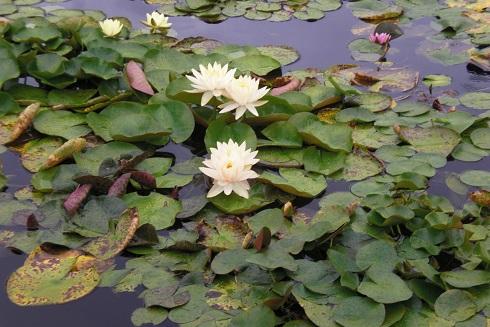 草津2 水の森 蓮の花8