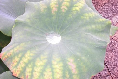 水の森 蓮の葉
