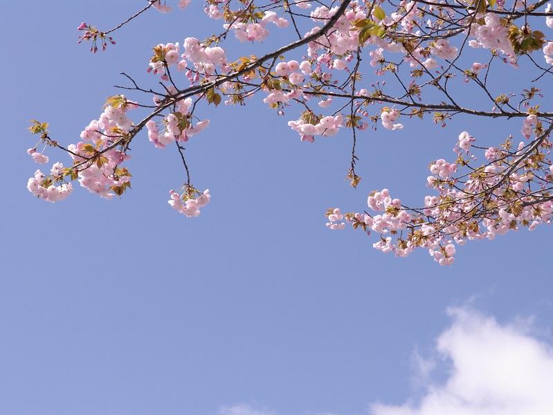 桜 その2