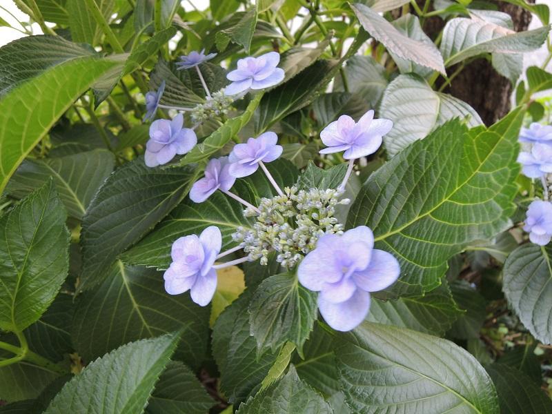 紫陽花の花 その1