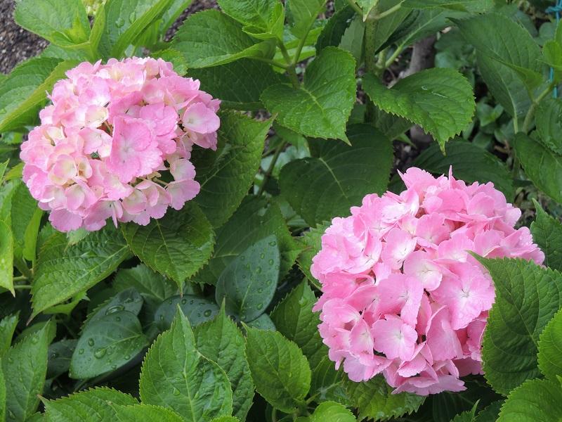 紫陽花の花 その4