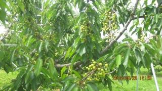 しんぼるツリー結果枝