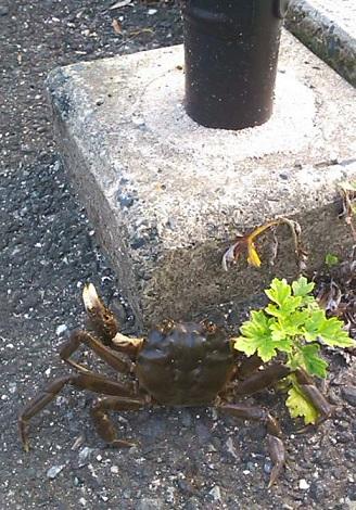 カニ歩きの蟹さん