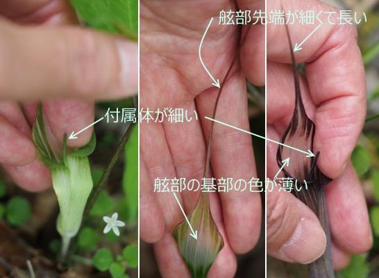 ツクシマムシグサ11-13-紫3
