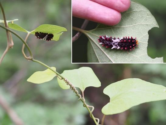 5ジャコウアゲハの幼虫11-6