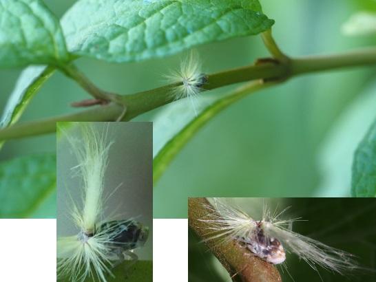 7ハゴロモの幼虫4-5-8