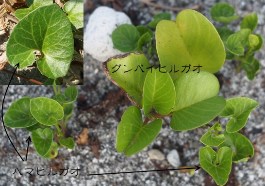 6グンバイヒルガオハマヒルガオ1