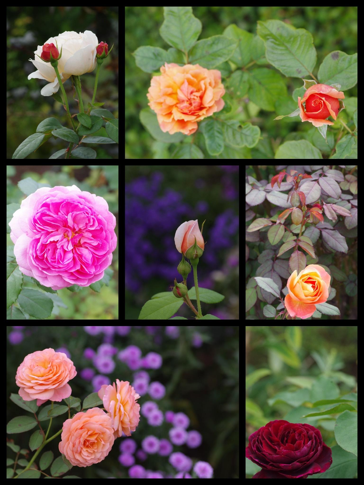 花菜ガーデン 秋バラ