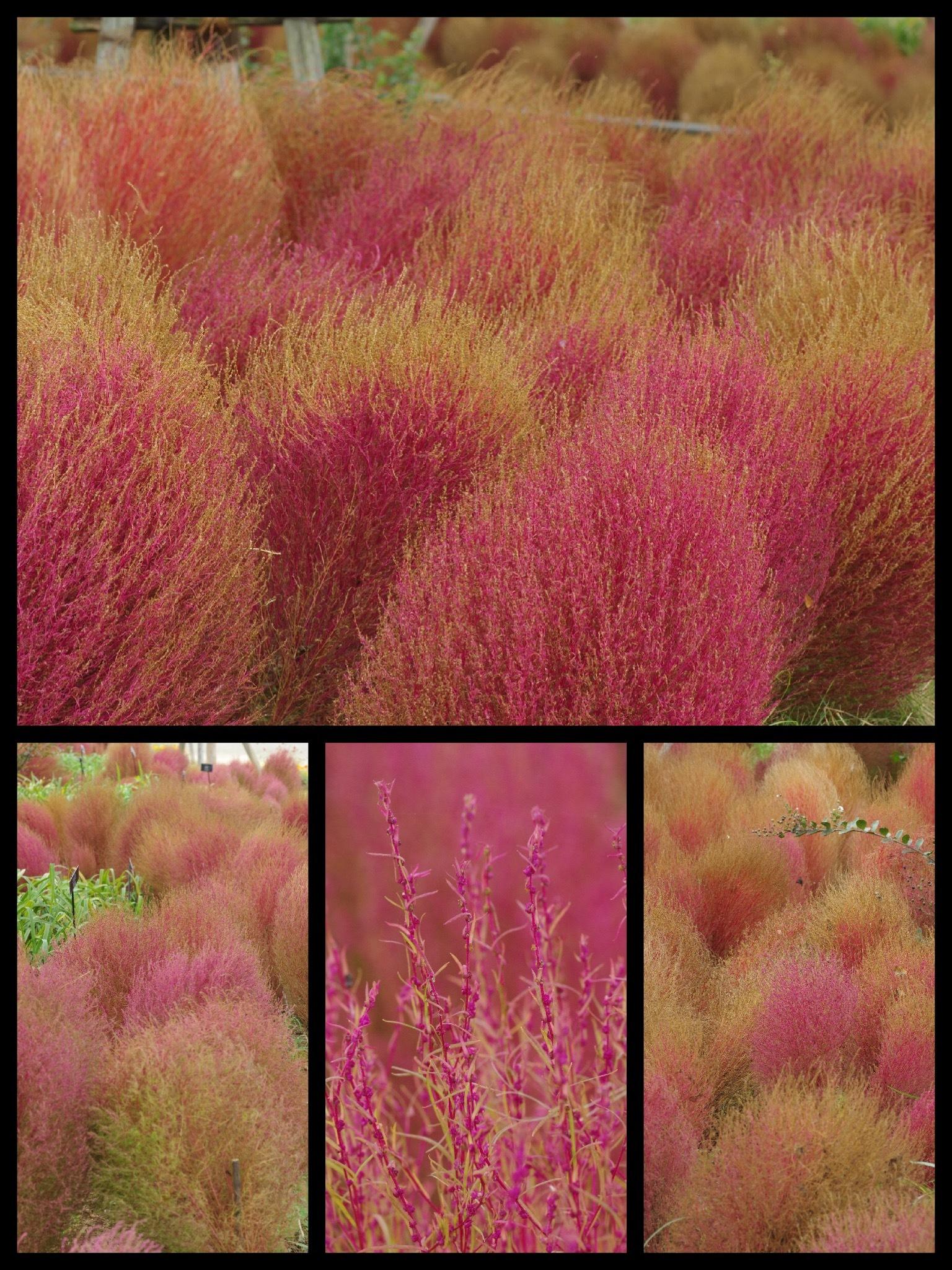 花菜ガーデン 秋バラ コキア