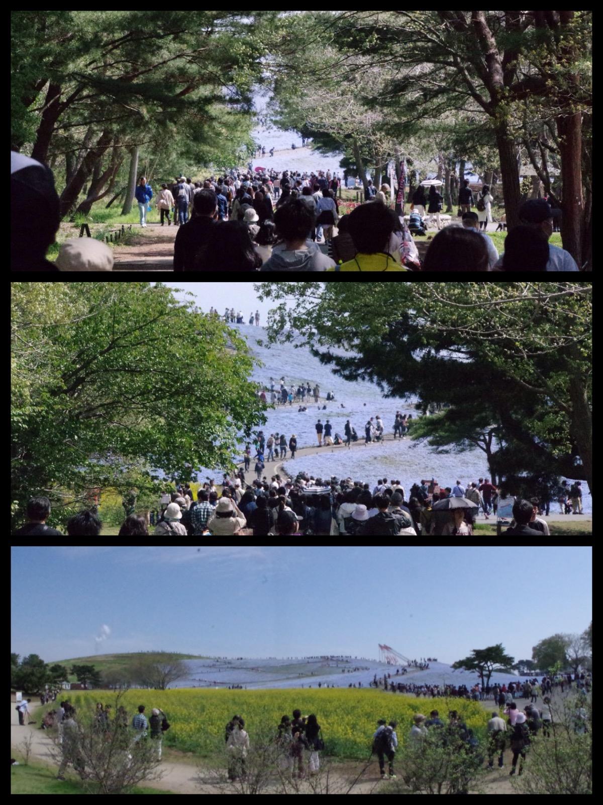 ひたち海浜公園 ネモフィラ2016