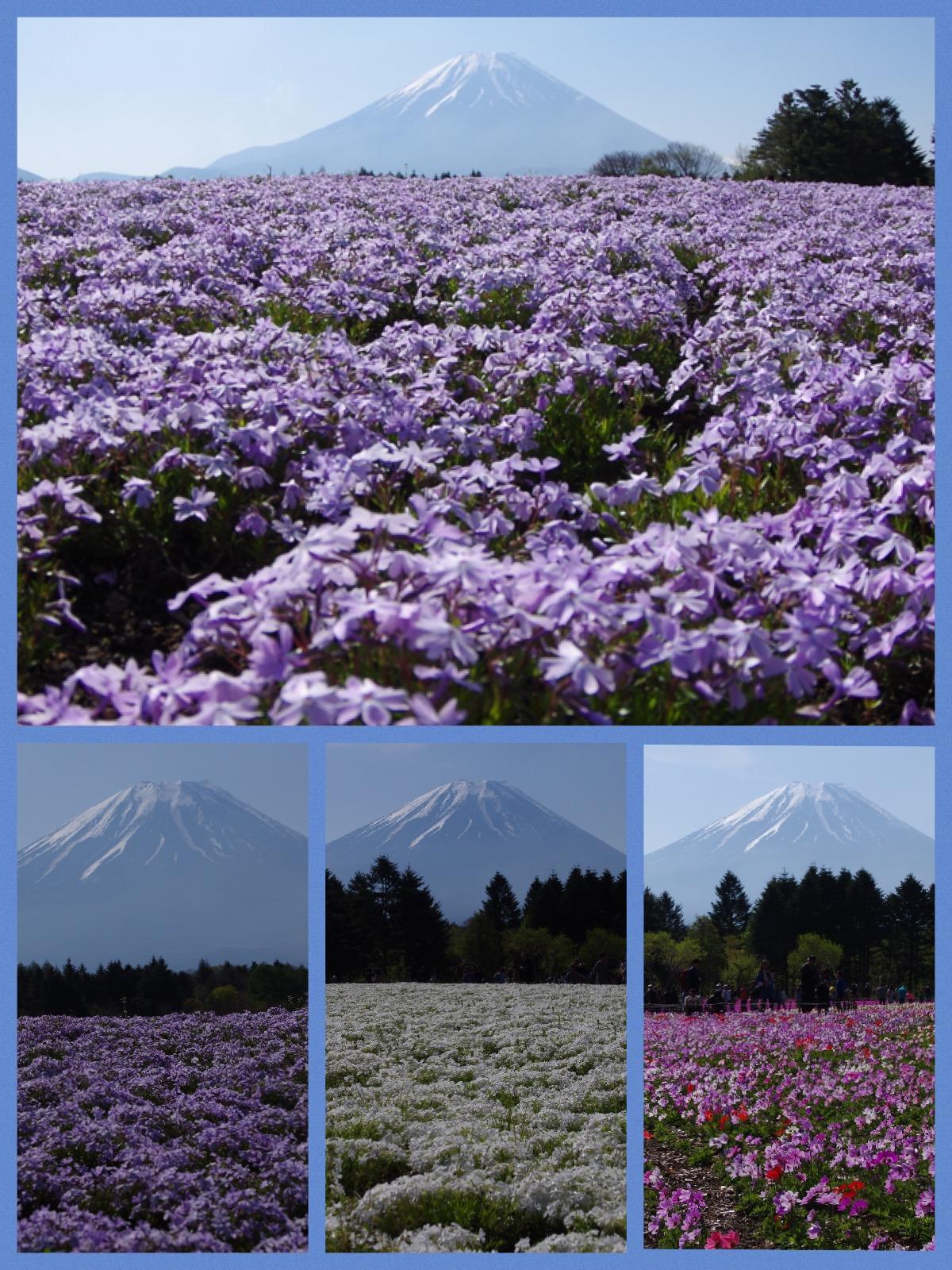 富士芝桜祭り 本栖湖 2016