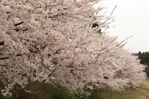 立派な桜並木を発見