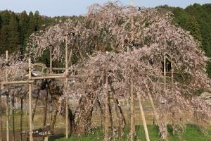 畑のしだれ桜