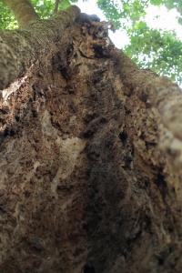 中身がゴッソリなくなっている樹