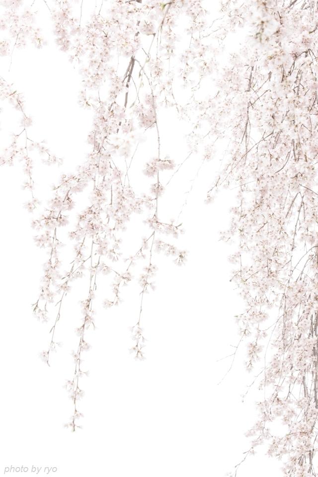 蓮照寺のしだれ桜 2016_5