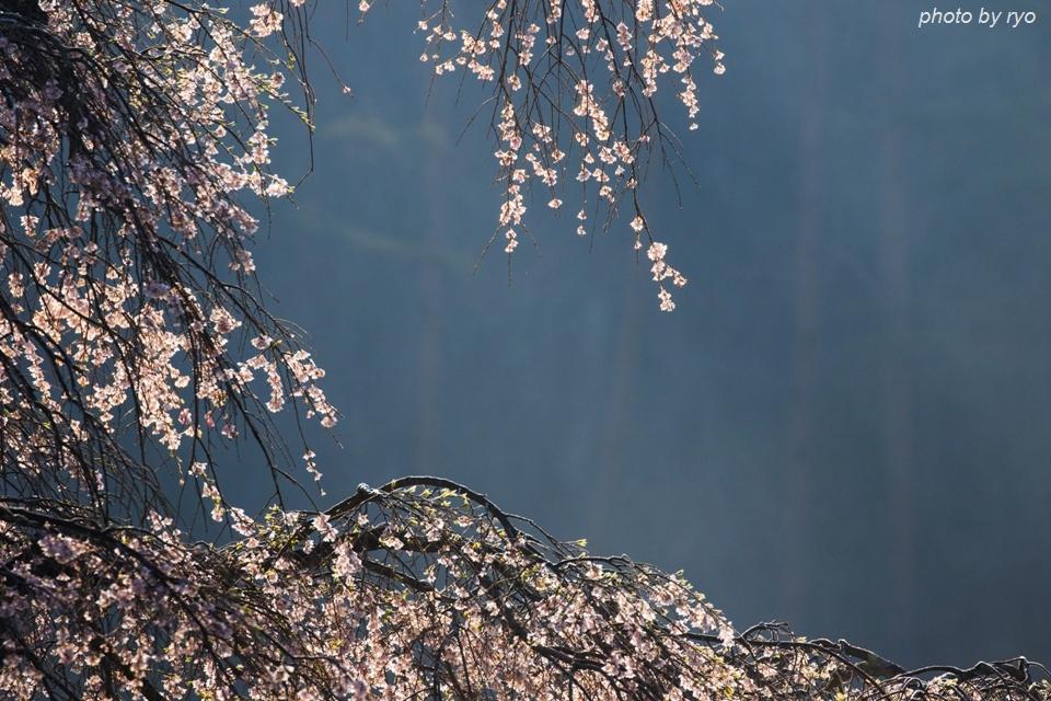 長沢のしだれ桜 2016 朝の光_3
