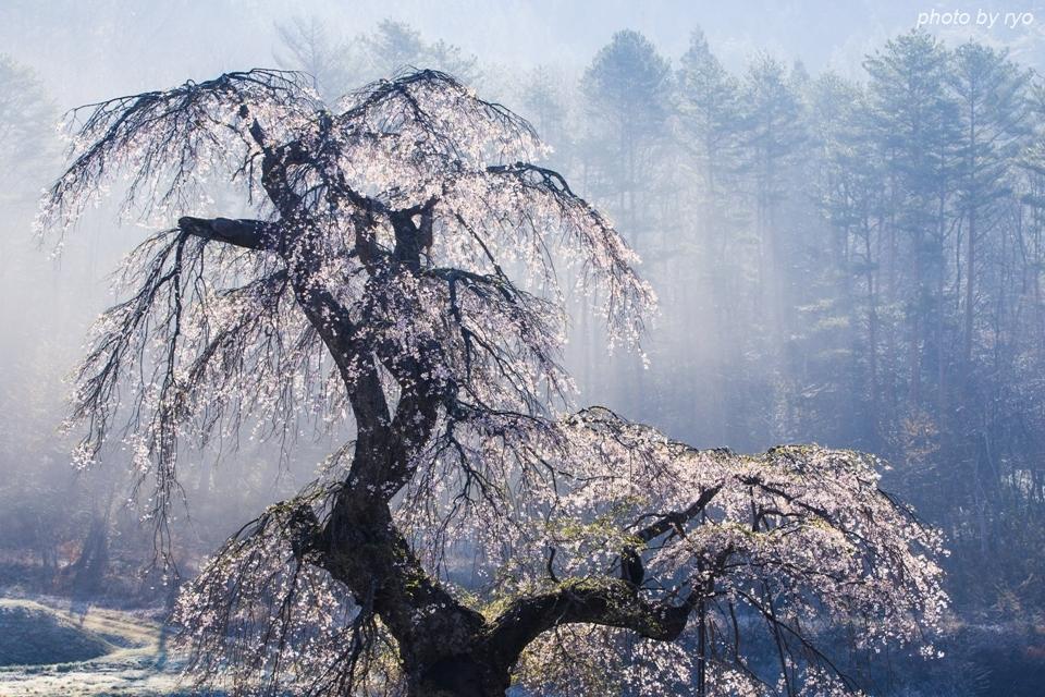 長沢のしだれ桜 2016 朝の光_5