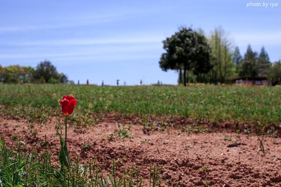 世羅高原農場 晴れの日のチューリップ_6