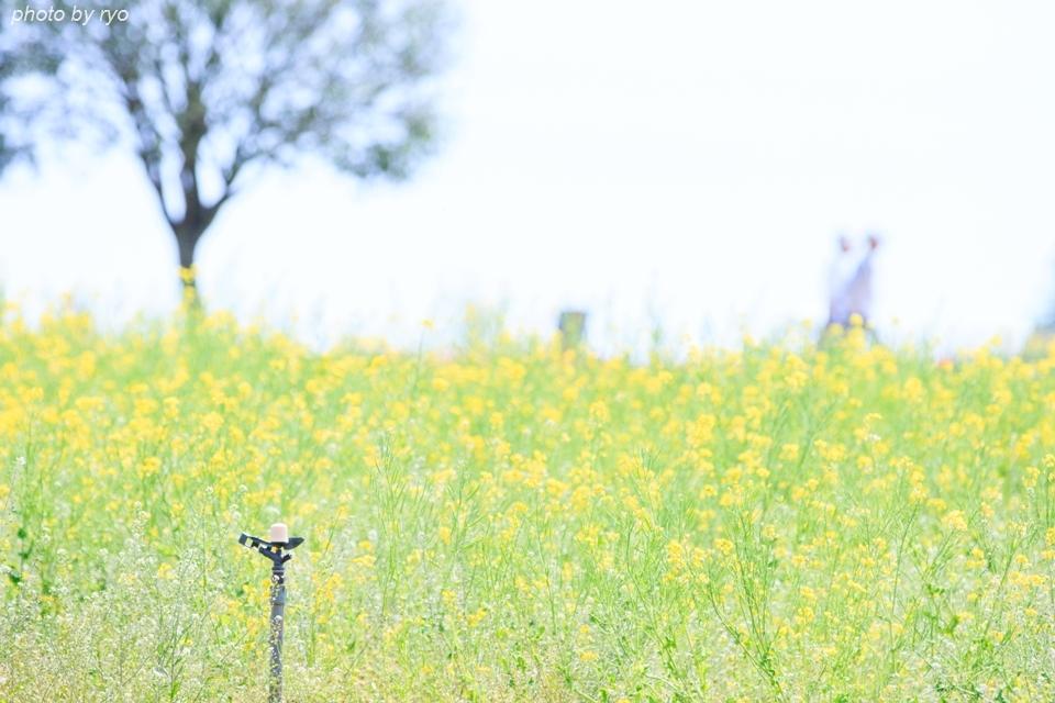 世羅高原農場 晴れの日のチューリップ_8