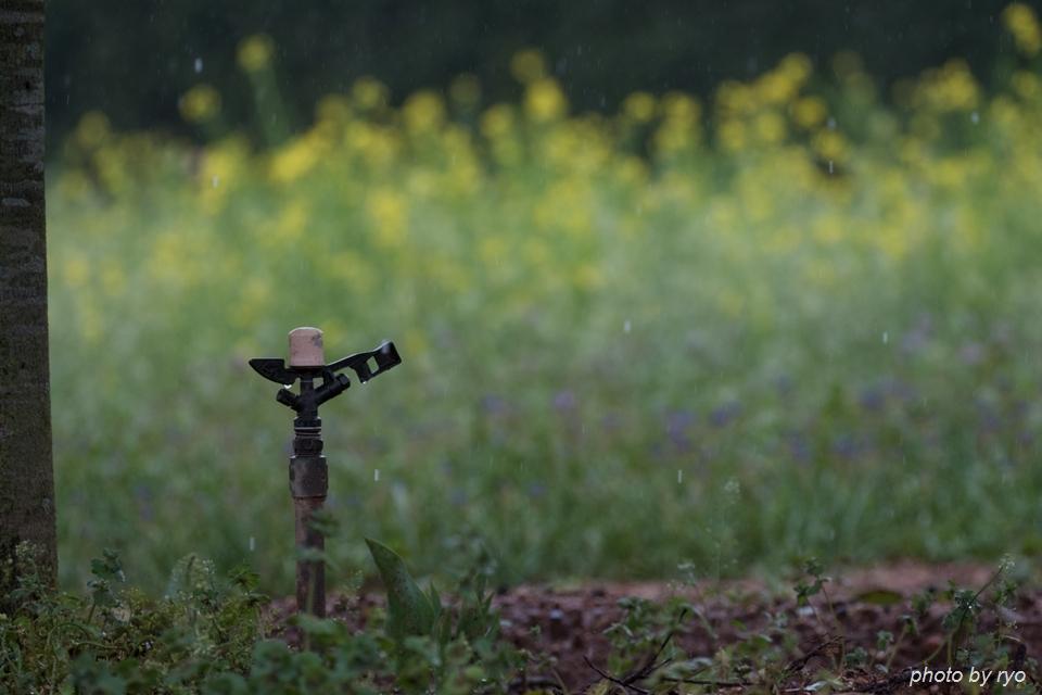 世羅高原農場 雨の日のチューリップ_8