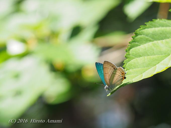 オオミドリシジミ:葉上の吸水?