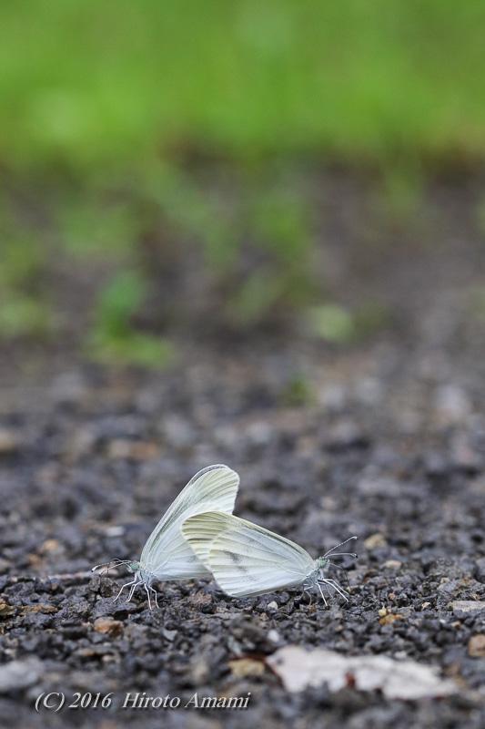 ヒメシロチョウ:仲良く吸水