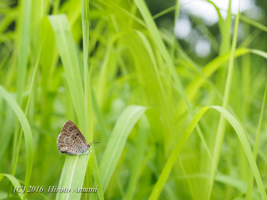 クロシジミ:クロオオアリの棲む草原にて