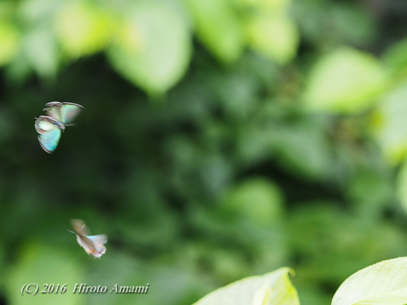 メスアカミドリシジミ:卍巴飛翔証拠写真