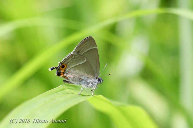 ジョウザンミドリシジミ:翅裏の赤斑は個体差が大きい?