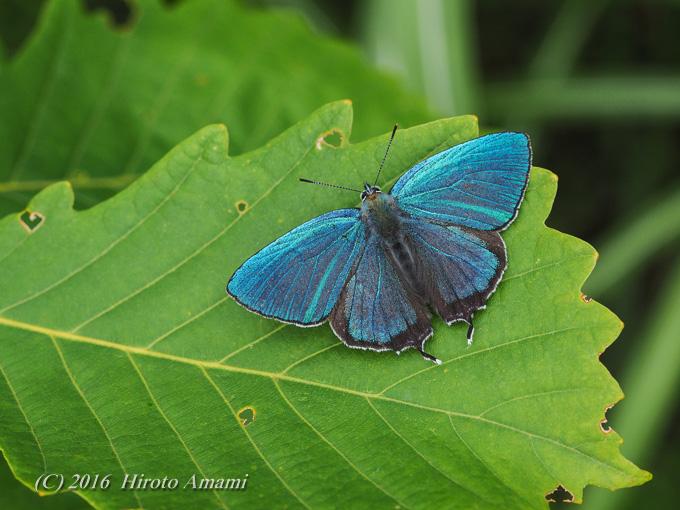 ジョウザンミドリシジミ:捉えることのできた青色の輝き