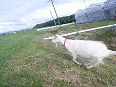 【写真】農園内の土手を駆け上がるアラン