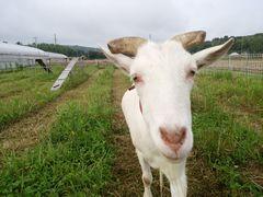 【写真】アランフィールドで草を食べていたアランがカメラに向かって近づいてきたところ