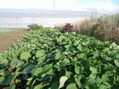 【写真】三郎畑に植えられているサツマイモの様子