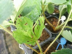 【写真】ヨトウムシに食べられた跡が残るいちごの苗の様子