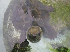 【写真】潜水して泳いでいたカメのクロちゃんが水面にあがって顔をだしたところ