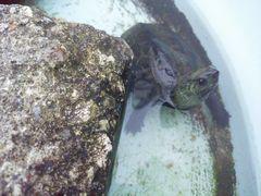 【写真】タライの中で泳ぎながら上を見上げるカメのクロちゃん