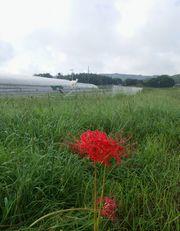 【写真】農園に咲いた彼岸花(後ろの方でのぼり台の上からこちらを見ているアラン)