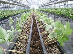 【写真】本圃ハウスの高設ベッドに定植された苗が一列に並んでいる様子