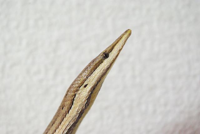 バートンヒレアシトカゲ