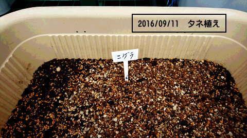 ニゲラタネ植え