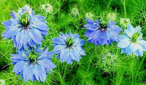 ニゲラの花びら