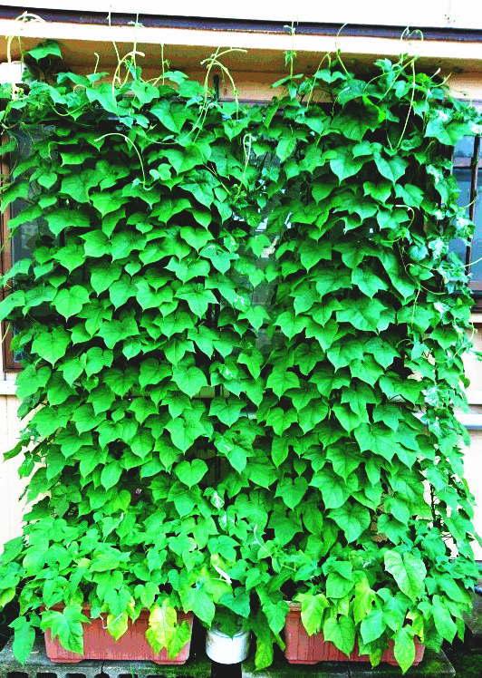 リビングのグリーンカーテン