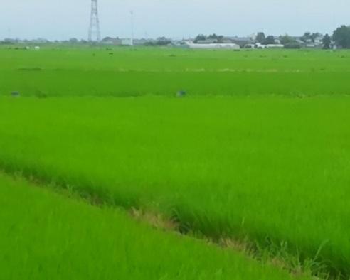 緑のじゅうたん3