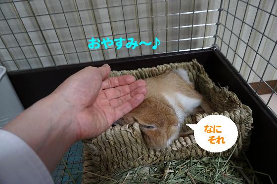 ぴょん子160605_03