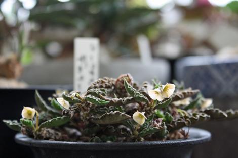 20160715デカリー花