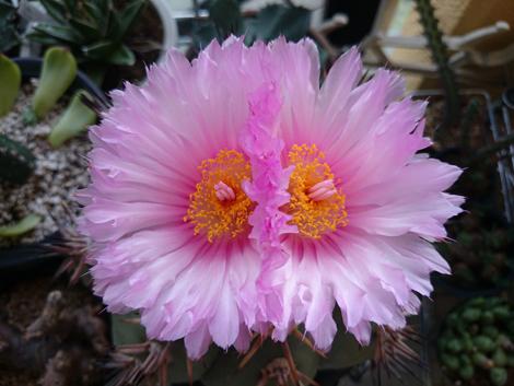20160803太平丸の花