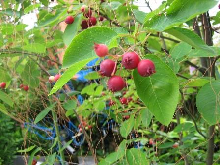 ジュンベリーの木 (448x336)