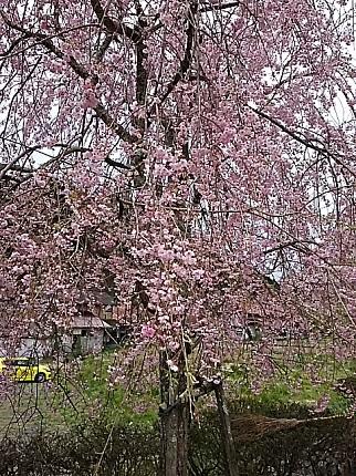 4月18日新庄村の枝垂れ桜